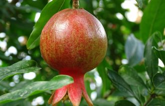Transformación de la cáscara de la granada en un eficiente bioplástico con antioxidantes