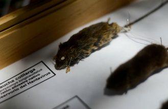 Científicos chilenos descubren el primer tratamiento específico para el virus hanta