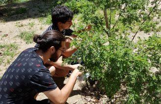 Proyecto científico esclarecerá la situación genética del toromiro, árbol endémico extinto de Isla de Pascua